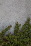 上升在灰色水泥墙壁上的叶茂盛藤 图库摄影