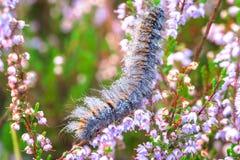 上升在石南花的Fox飞蛾毛虫 库存图片
