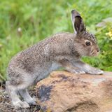 上升在石头的年轻野兔 库存照片