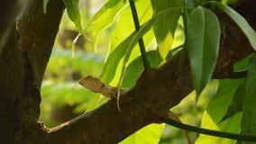 上升在芒果树的蜥蜴在庭院里 影视素材