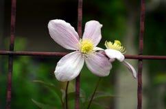 上升在花园大门的桃红色铁线莲属 库存照片
