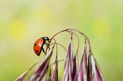 上升在花的瓢虫 免版税库存照片