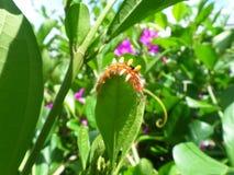 上升在鲜绿色的叶子边缘的小的橙色毛虫 库存图片