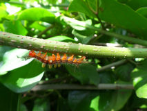 上升在绿色树枝下的一条小的橙色毛虫 免版税库存图片