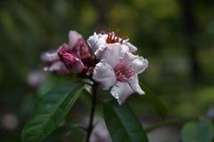 上升的夹竹桃,一棵木质的藤本植物植物 免版税库存图片