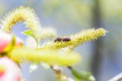 上升的开花的开花男性开花的柔荑花或柔夷花序在柳属晨曲白柳在早期的春天在叶子前 col 免版税图库摄影