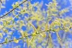 上升的开花的开花男性开花的柔荑花或柔夷花序在柳属晨曲白柳在早期的春天在叶子前 col 免版税库存照片