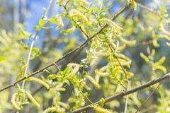 上升的开花的开花男性开花的柔荑花或柔夷花序在柳属晨曲(白柳)在早期的春天在叶子前 col 图库摄影