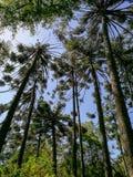 上升的棕榈树  免版税图库摄影