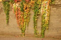 上升的植物在石墙上的秋天 免版税库存照片