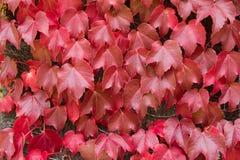 上升的植物,波士顿常春藤在转向秋天的墙壁离开 免版税库存照片