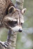 上升的浣熊 库存图片