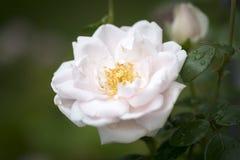 上升的玫瑰色特写镜头 免版税库存图片
