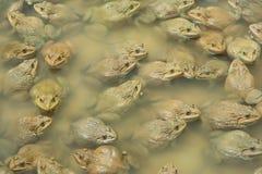 上升的青蛙在池塘 免版税库存图片