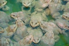 上升的青蛙在池塘 免版税库存照片