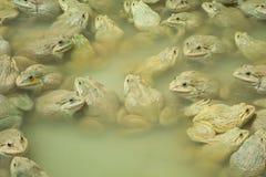 上升的青蛙在池塘 库存图片
