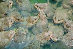 上升的青蛙在池塘 库存照片