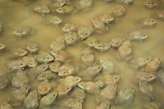 上升的青蛙在池塘 免版税图库摄影