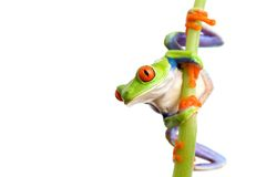 上升的青蛙 库存图片