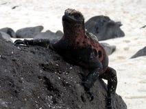 上升的鬣鳞蜥 库存图片