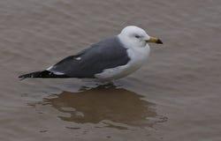 上升的水平面,海鸟站立了不动在水中 免版税库存照片