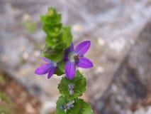 上升的紫色花 免版税库存图片