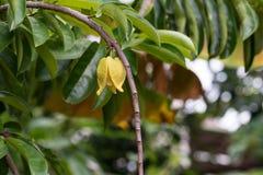 上升的ilang-ilang,热带花 库存图片