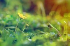 上升的wedelia开花与在葡萄酒样式的阳光作用 免版税图库摄影