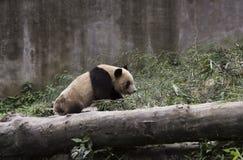 上升通过竹子的熊猫 免版税库存图片