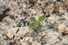 上升从灰的植物 库存照片