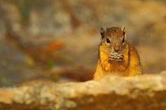 上树灰鼠, Paraxerus cepapi chobiensis,吃坚果,异乎寻常的非洲小的哺乳动物细节与红色眼睛的在自然栖所, 库存照片