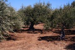 上油西西里岛结构树 免版税库存照片