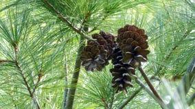 上流的Pinecones 免版税库存照片