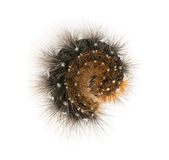 从上流观看的卷起的飞蛾毛虫,被隔绝 免版税库存图片