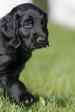 上漆的平面的小狗猎犬 免版税库存图片