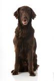 上漆的平面的猎犬 库存照片