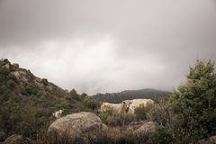 上色一个小组的图象吃草在小山的母牛 图库摄影