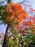 上色槭树 图库摄影