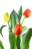 上色花fuschia巨大红色春天郁金香黄色 库存照片