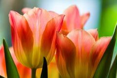 上色花fuschia巨大红色春天郁金香黄色 图库摄影