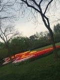 上色花fuschia巨大红色春天郁金香黄色 库存图片
