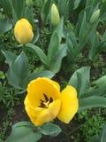 上色花fuschia巨大红色春天郁金香黄色 免版税库存图片