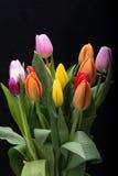 上色花fuschia巨大红色春天郁金香黄色 免版税库存照片