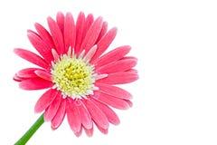 上色花gerber粉红色 免版税库存图片