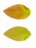 上部和降下叶子 免版税图库摄影