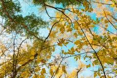上部在蓝天的背景的树枝秋天晴天 库存图片