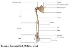 上部肢体先前视图的骨头 免版税库存图片