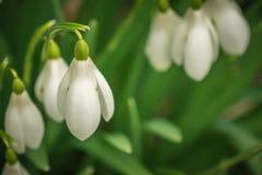 上面下来关闭早期的春天snowdrops在苏格兰森林地 免版税库存照片