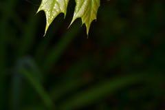 上面在黑暗的背景的绿色叶子 免版税库存照片