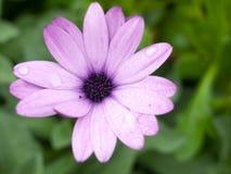 上面湿紫色中心雏菊家庭的花射击关闭  免版税库存图片